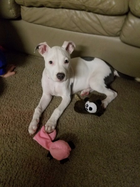 What Type Is My Pit Bull? - white dog with dark grey spots