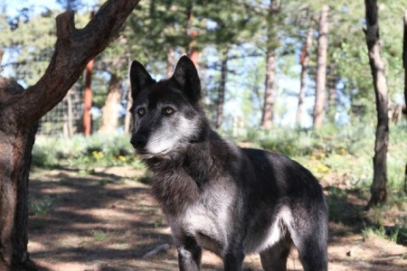 Wolves Alive (Colorado Wolf and Wildlife Center) - wolf standing in the shadows