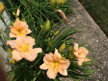 Daylilies Galore - multiple daylily blooms