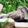 Mystery Dove In My Back Yard