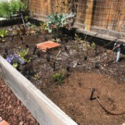 Forks in the Garden to Scare off Animals - black plastic forks, tines up, placed in raised garden
