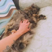 Jade (Long Haired Tortoiseshell Hemingway) - getting her tummy rubbed