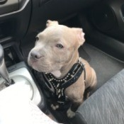Is My Dog a Pure Bred Pit Bull? - white dog wearing a halter