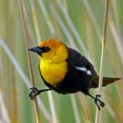 Photo of a Yellow-Headed Blackbird perched in tall grass.