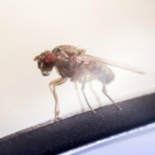 A fruit fly close up.