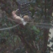 Keeping Squirrels from Eating Homemade Suet - woodpecker on suet feeder