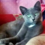 Tom (Domestic Shorthair) - green eyed grey cat lying on a couch