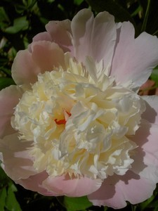 A beautiful peony in bloom.