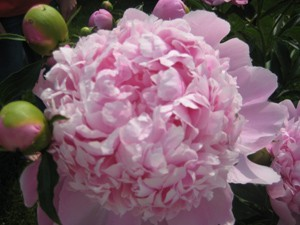 A light pink peony blossom with buds on the sides.