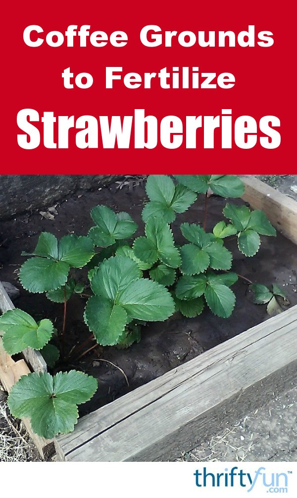 Using coffee grounds for strawberry plants thriftyfun - Are coffee grounds good for your garden ...