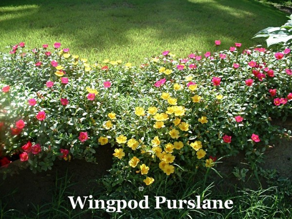 Sunken Gutters For Flower Border Containers - portulaca blooming