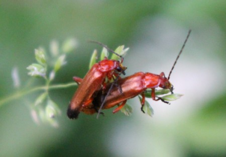 Mating Common Red Soldier Beetles - mating beetles