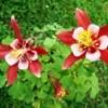 Aquilegia  (Columbine) - red and white flowers