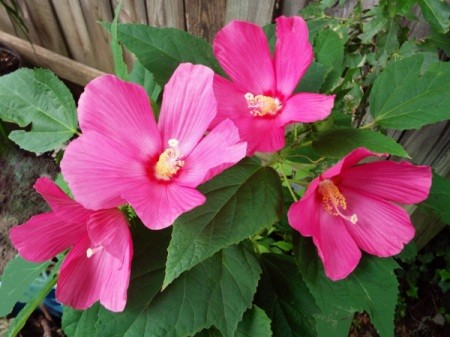 Hibiscus Moscheutos - beautiful dark pink flowers