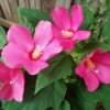 Hibiscus Moscheutos - beautiful dark pink flowers