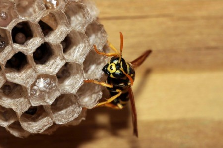 Close up of a yellow jacket and its nest.