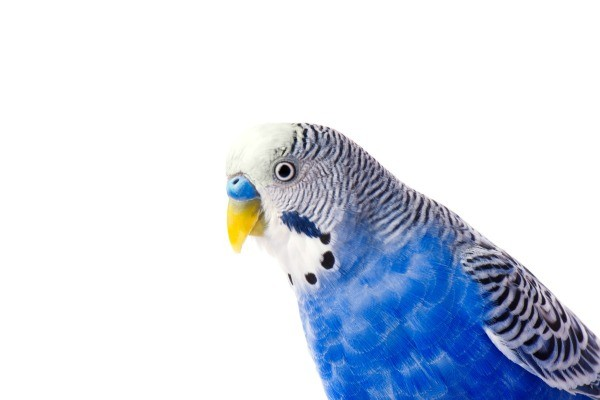 dealing with noisy budgies thriftyfun