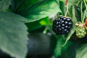 A large blackberry growing on a blackberry plant.