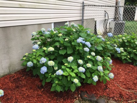 Hydrangea Blooming More Near Bottom of Plant