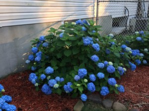 A hydrangea bush that is blooming at the bottom more than at the top.