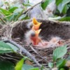 Hungry Baby Robins In Their Nest - babies with mouths open