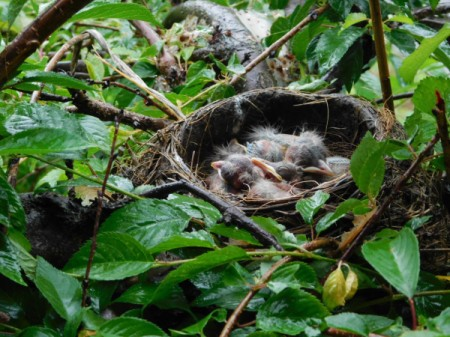 Hungry Baby Robins In Their Nest - sleeping baby birds