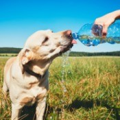Keeping Your Pets Safe as the Days Get Hotter - dog drinking from water bottle