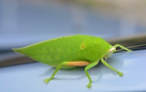 A green katydid or leaf bug on a smooth surface.