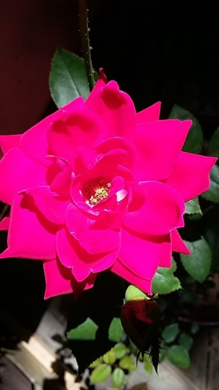 Sun Rays Flicker on Rose Blossom - sunlight on red rose