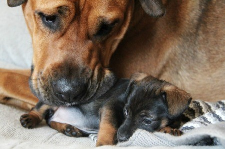 A mother dog with one if her puppies.