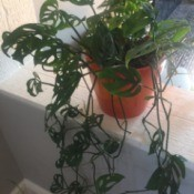 What Is This Houseplant? - philodendron