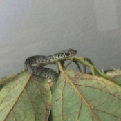 What Kind of Snake Is This? - speckled snake on a branch