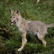 A coyote standing in a field.