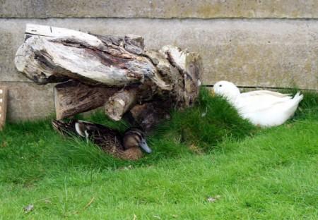 Paddlesocks and Rosie (Aylesbury Ducks) - brown duck and white duck near stump