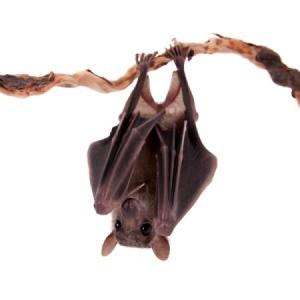 A fruit bat hanging upside down.
