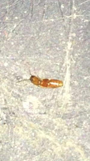What Is This Bug? - long brown bug