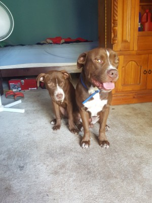 Are My Dogs Pure Bred Pit Bulls?