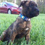 What Breed Is My Dog? - brindle puppy