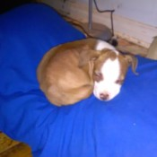 Is My Dog a Full Blooded Pit Bull? - brown and white puppy