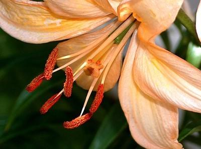 Peach colored Lily