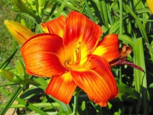 Burnt orange and yellow Lily