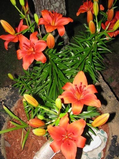 red orange lilies