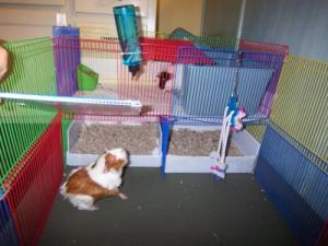 Litter Box Training a Guinea Pig