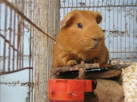 A guinea pig in its cage.