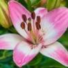 A beautiful pink lily.