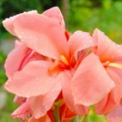 Pink Canna Lilies