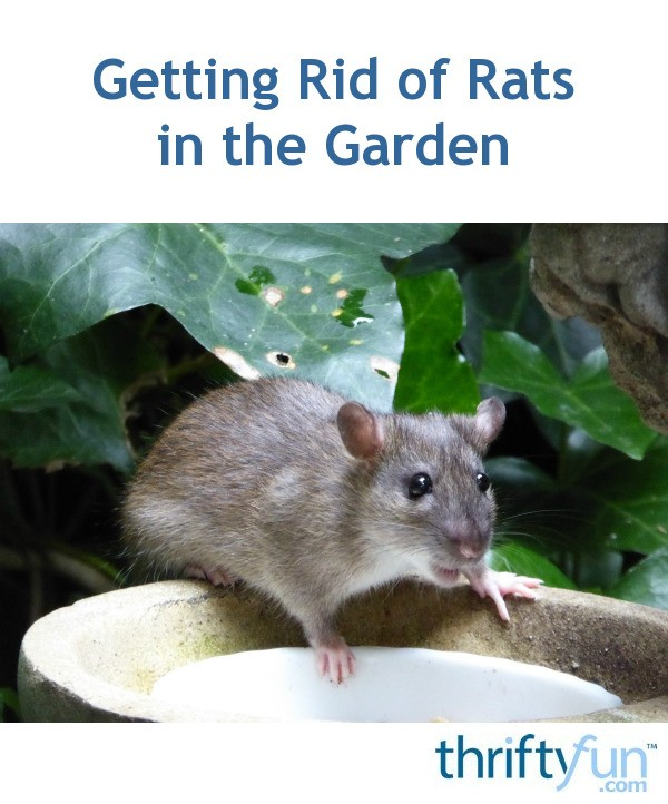 Getting Rid of Rats in the Garden? | ThriftyFun