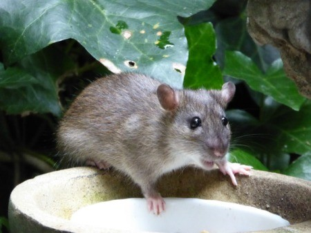 Photo of a rat in a garden.