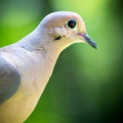 A close up of a mourning dove.