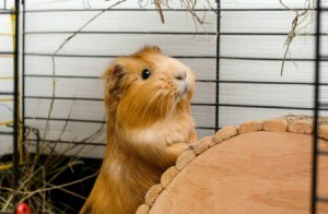 A cute guinea pig in a cage.